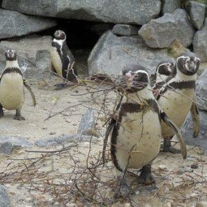 Holen Sie sich jetzt für 24 Stunden einen echten Pinguin nach Hause!